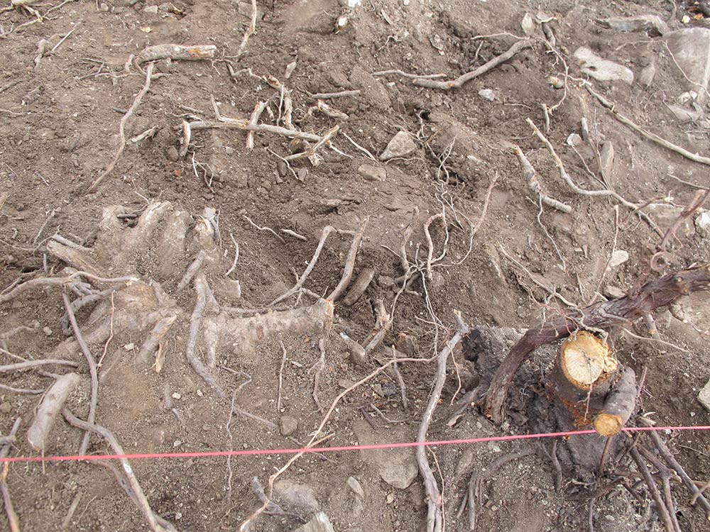 Roots in one of the test trenches