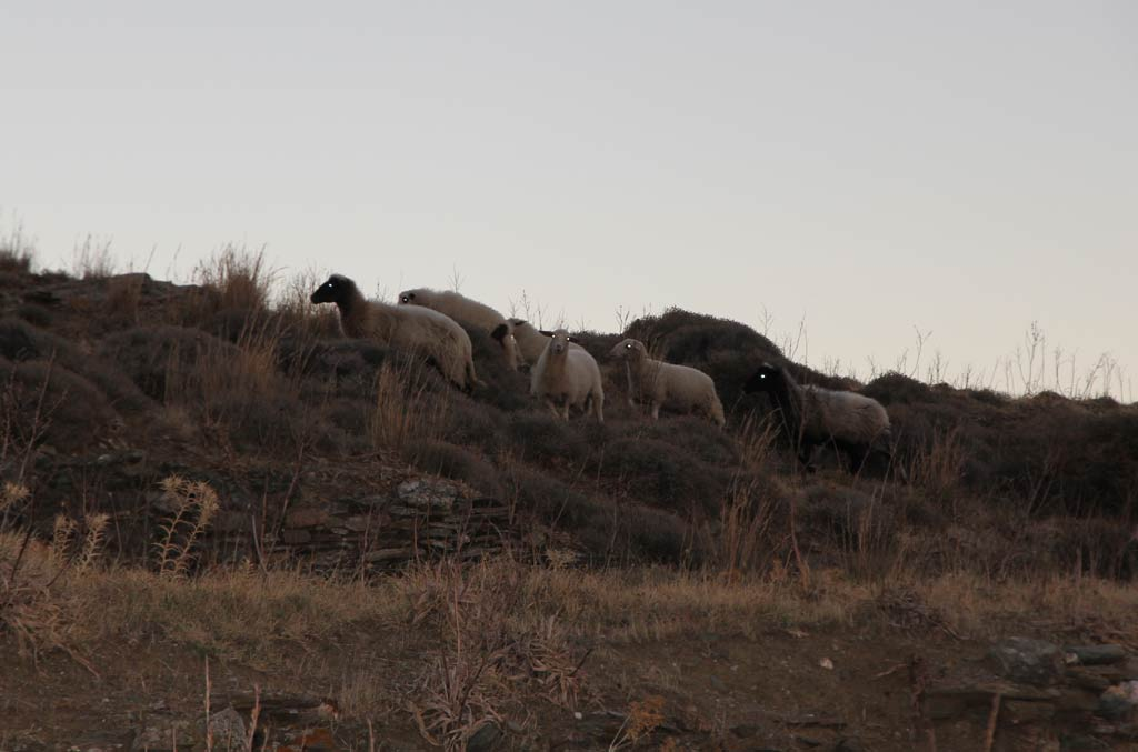 Sheep near Zagora