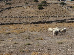 Sheep in one of the fields we pass on the way to Zagora