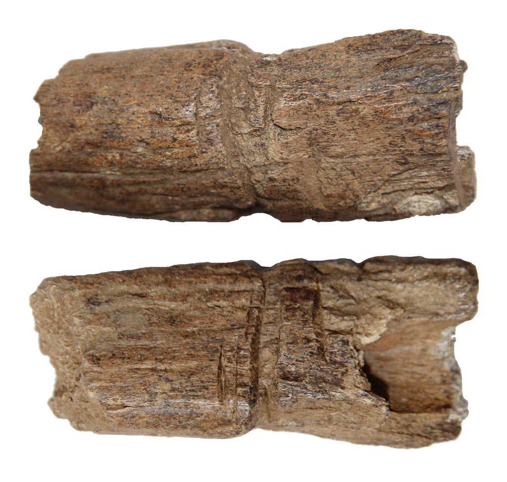Two sides of a horn core fragment